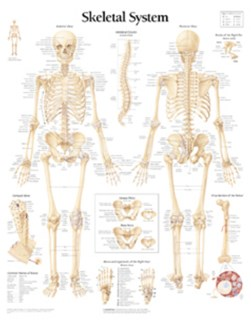 Skeletal System Paper Poster by Scientific Publishing