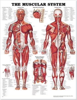 The Muscular System Anatomical Chart by Anatomical Chart Company