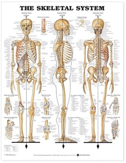 The Skeletal System Anatomical Chart by Anatomical Chart Company