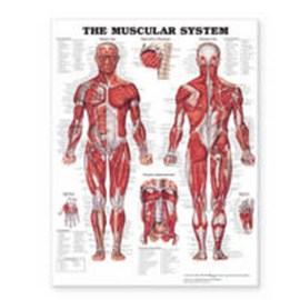 The Muscular System Giant Chart by Anatomical Chart Company