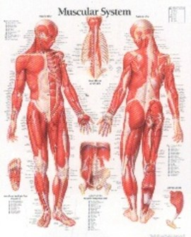 Muscular System with Male Figure Laminated Poster by Scientific Publishing