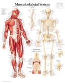 Musculoskeletal System Paper Poster