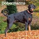 Dobermanns International Edition 2019 Square Wall Calendar